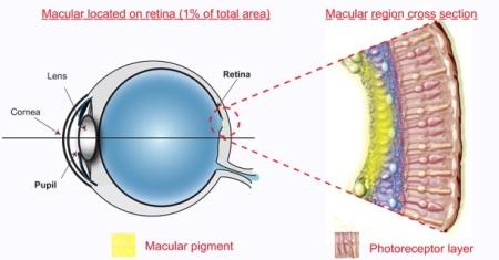 anti-glare computer eye strain diet-macular pigment