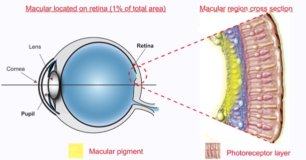 blue filter - eye anatomy - macular pigment