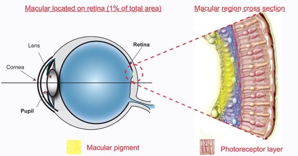 blue filter - eye anatomy - macular pigment
