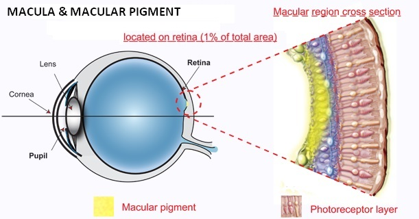 blue filter - macular pigment eye anatomy